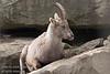 An Ibex on the rocks