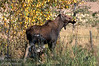 A moose (Alces alces) enjoying a warm fall afternoon