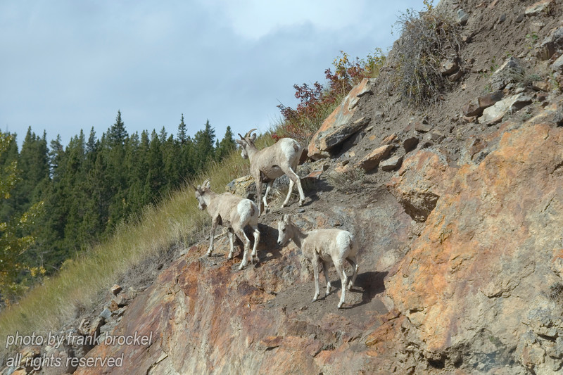 Rocky Mountain Sheep in Peter Lougheed Park, Alberta, Canada