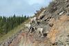 Rocky Mountain Sheep in Peter Lougheed Park, Alberta, Canada