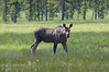 A moose cow (Alces alces) in a meadow near a known mineral lick.