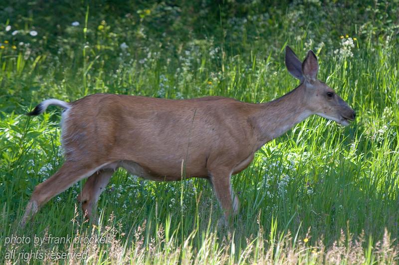 A deer doe