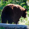 Bear near Hayden Valley, Yellowstone National Park, Jackson Hole, Wyoming.