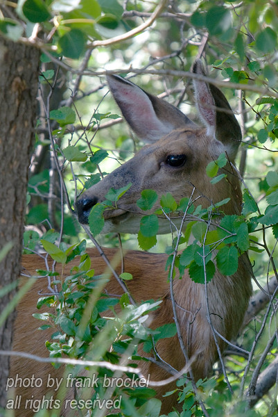 A deer peering through the bush keeping a very watchful eye on me - she had two babies nearby.