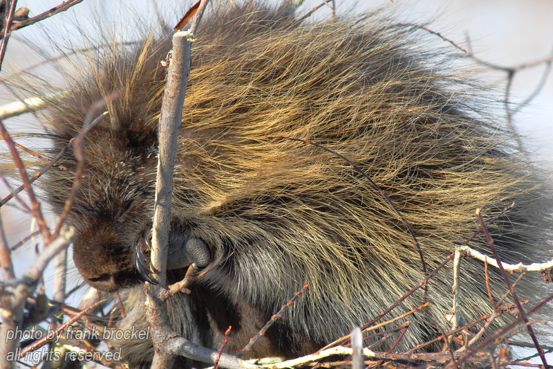 A porcupine asleep in the warm sun on a willow bush