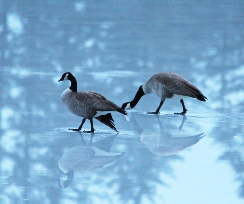 GEESE walkining on ice