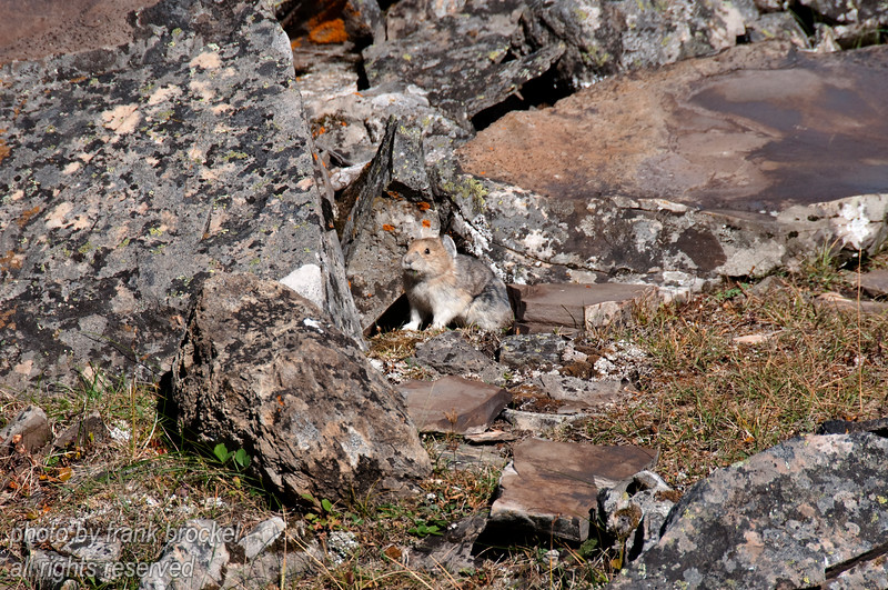 A rock rabbit (pica) at the rock glacier in Peter Lougheed provincial park, Kananaskis, Alberta