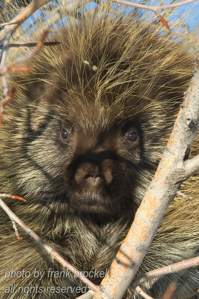 A porcupine sunning itself on a tree