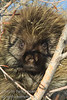 A porcupine sunning itself on a tree