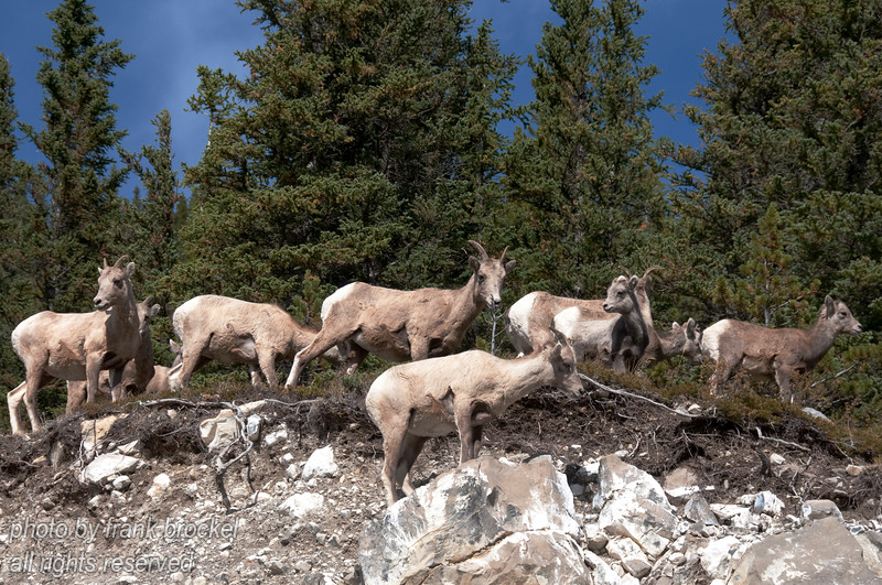 Rocky Mountain Sheep west of Elbow Falls, Alberta
