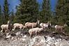 Rocky Mountain Sheep west of Elbow Falls, Alberta