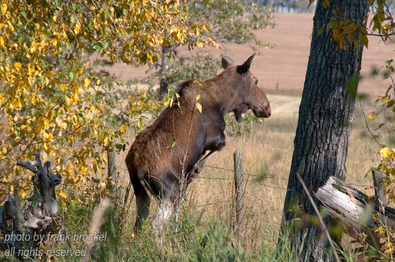 A moose cow (Alces alces) jumping a fence wit the ease of a ballet dancer