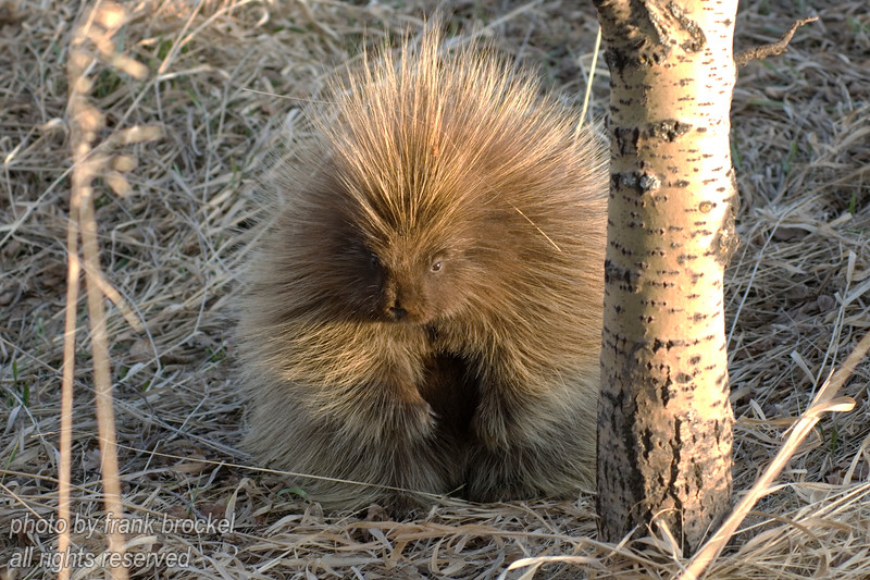 A porcpine out in the open during the day - this is fairly rare because porcupines are largely nocturnal