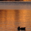 Duck at sunset, Smith Lake, Washington Park, Denver, Colorado.