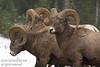Rocky Mountain Big Horn Sheep in Kananaskis Country, Alberta