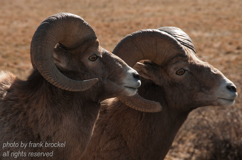 Bighorn Sheep enjoying a warm spring day near Radium Hot Springs, B.C., Canada
