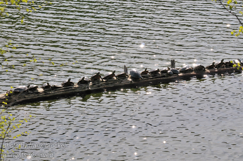 Western painted turtles, which are named for their distinctive red and yellow markings on the undersides are lined up on log like pearls on a string at a small lake in SE British Columbia