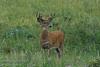 A deer stag