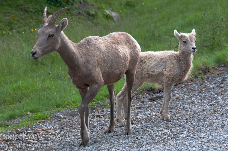 Rocky Mountain Big Horn Sheep in Kananaskis Country, Alberta