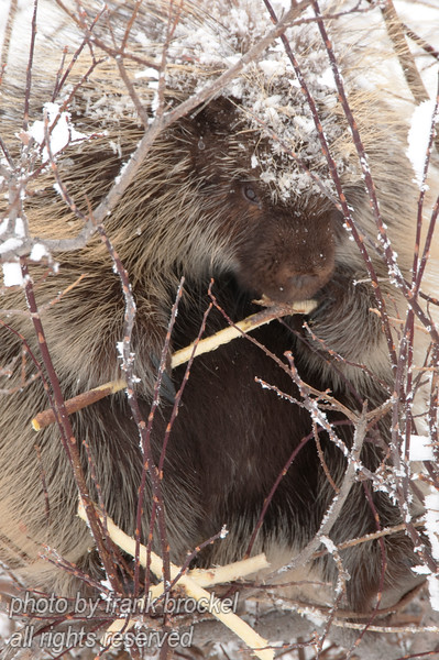 A porcupine sitting in a willow chewing the bark off branches