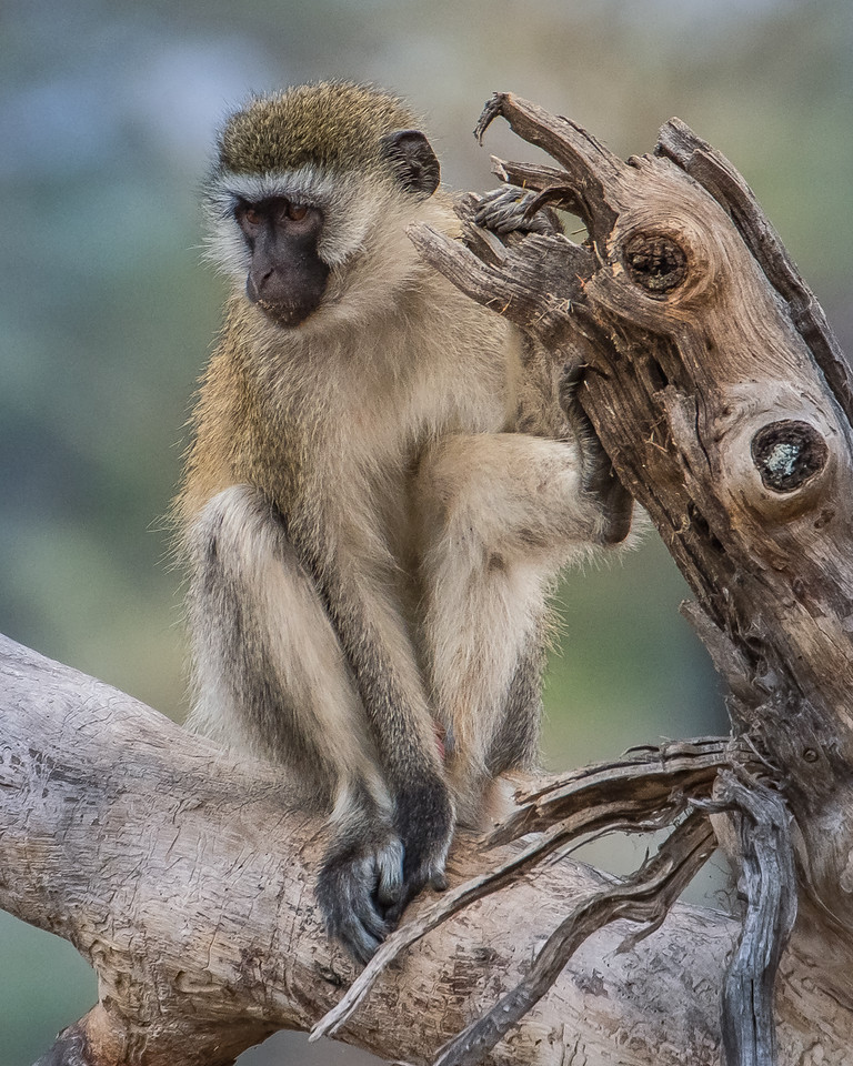 "Vervet Monkey, ""just watching"""