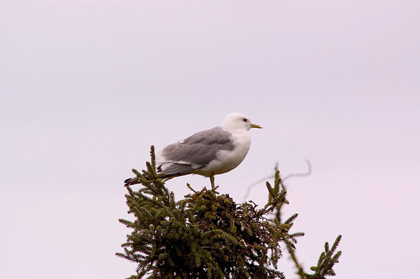 This Seagull was parked atop a small Spruce tree in Baxter Bog, near Anchorage, Alaska.