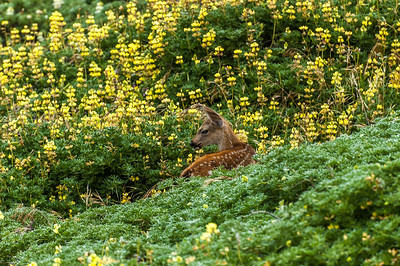 Fawn at Point Reyes National Seashore California