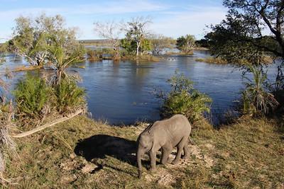Elephant baby (2-year old), Zambezi River, Zambia