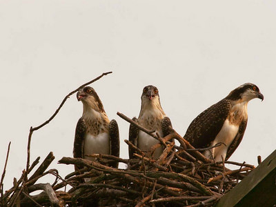 Three young Osprey almost ready to leave the nest.  Poquoson, VA July 2006.