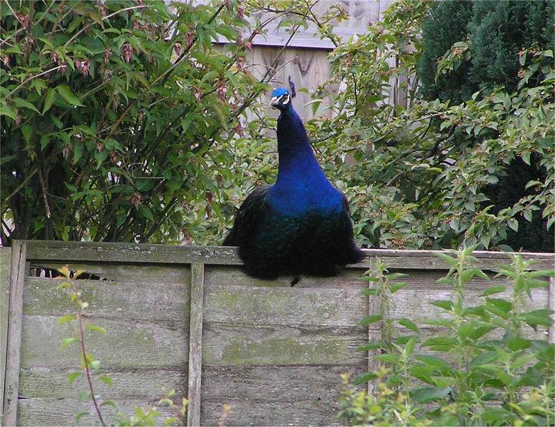 hungerford_peacock_June2005