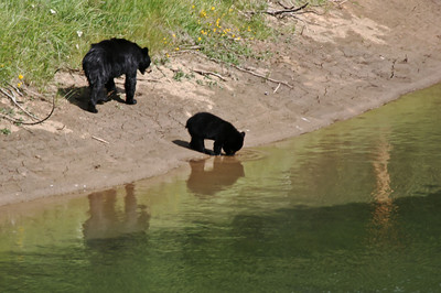 Black bear and cub along the Maligne River