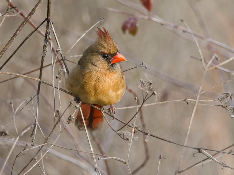 Yellow morph Cardinal near Gainesville