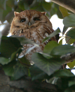 Owl in the tree next to our patio