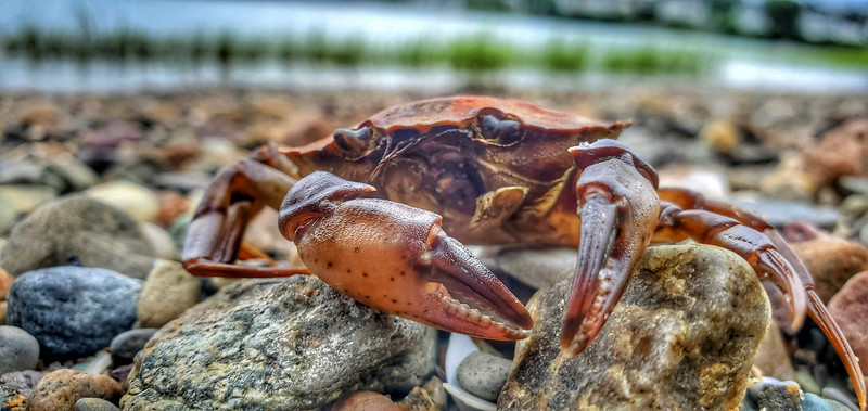 Crab in the Cove