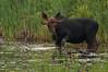 Young Bull, Algonquin Park