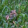 Frog in the grass at St Donat