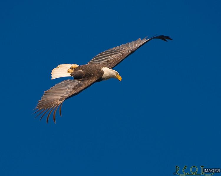Inverted Bald Eagle.