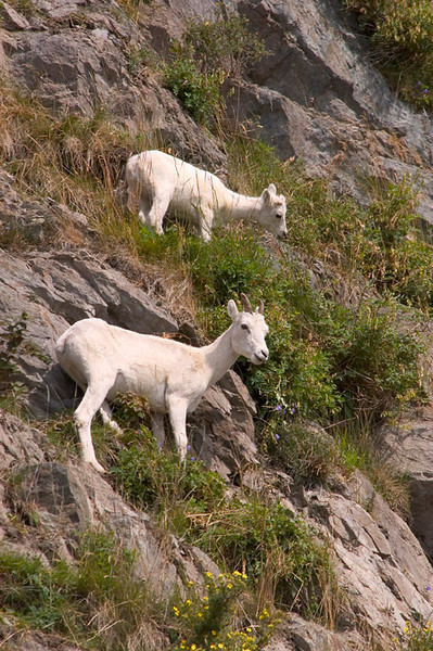 These Dall Sheep, ewe and lamb, were grazing on the steep cliffs along Turnagin Arm south of Anchorage, Alaska in late July.