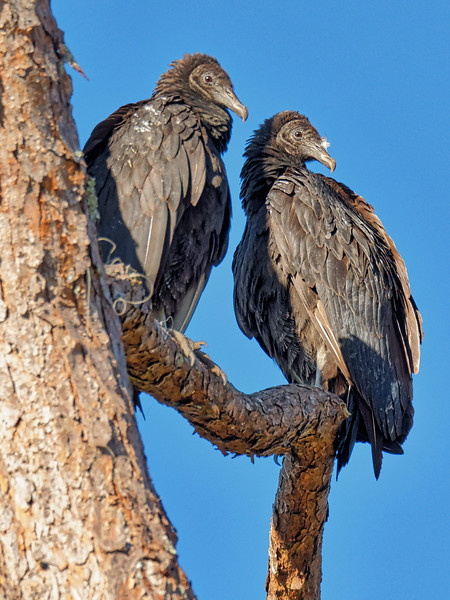 American Black Vultures at Rodman Dam