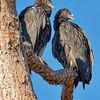 American Black Vultures at Rodman Dam
