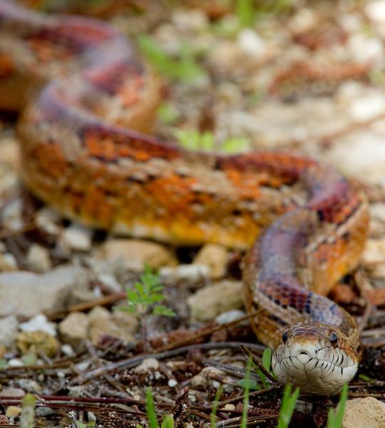 Red Cornsnake, St. Marks NWR, Florida