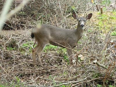 Black-tailed Deer Over Backyard Fence
