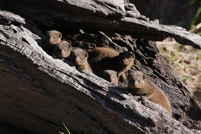 Dwarf mongoose family Lechwe Island, Botswana