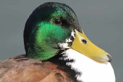 Mallard Duck @ Radio Rd.
