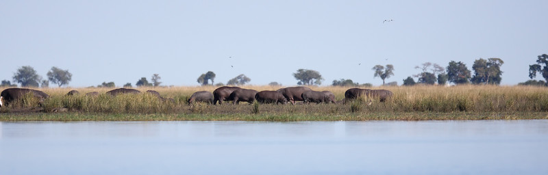 Hippos grazing in the Chobe River Chobe River, Botswana