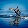 Pelican and Dolphin Fight over Fish