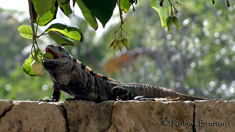 An Iguana Enjoying Lunch