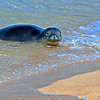 Monk Seal in Kauai, Hawaii