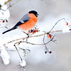 Bullfinch in snow