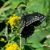 Spice Bush Swallowtail, Dismal Swamp NWR, VA